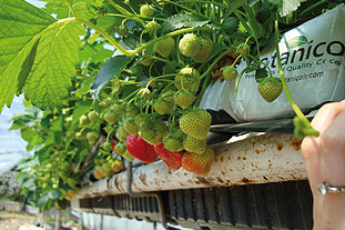 Soft fruits: weight-for-weight, coir has demonstrated a clear advantage over the heavier peat for table-top production of strawberries   Image: Botanicoir
