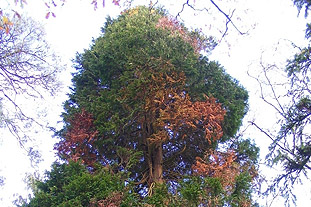 Phytophthora lateralis found on 80 Lawson's cypress trees in Balloch Castle Country Park, Scotland - image: Forestry Commission