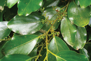 Griselinia litteralis AGM - image: FlickR/Scott Zona