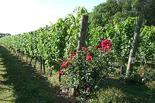 English wine on the vine - image: English Wine Producers