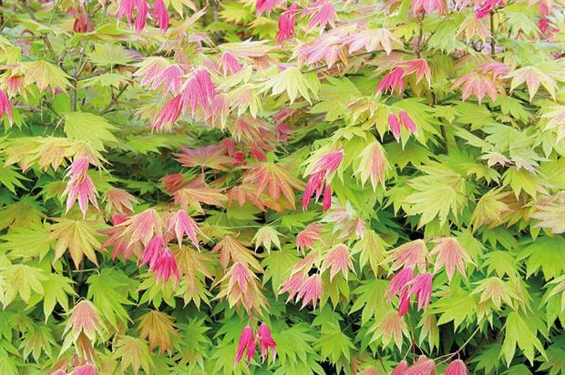 Acer shirasawanum 'Munn 001'