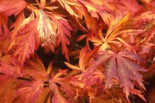 Acer japonicum 'Acontifolium' - photo: HW