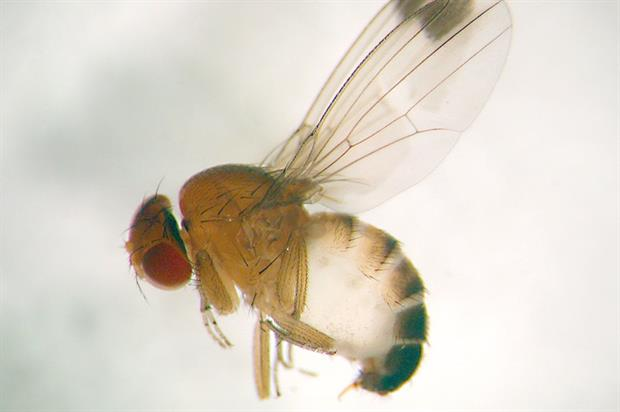 Drosophila: initial project found integrated approach, novel methods and crop hygiene are key to future control - image: © EMR