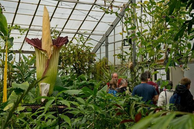 The record-breaking 'corpse flower' in bloom this week. Image: Royal Botanic Gardens Edinburgh