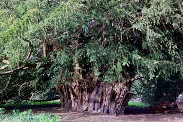 The Ankerwycke yew, one of the shortlisted trees - image: Philip Bragg