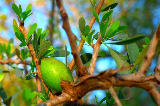 Argania spinosa, used to make Argan oil, is from the Sapotaceae family. Image: Pixabay