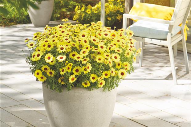 Argyranthemum 'Grandaisy Yellow'. Image: Supplied