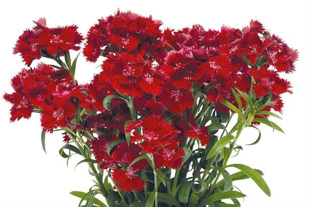 Dianthus Rockin' Red - image: Ball Colegrave