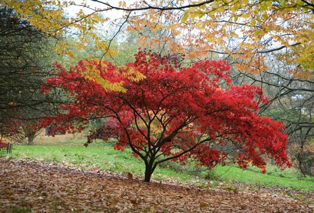 Stunning autumn colour helped record visitor numbers at Batsford. Image: Batsford Arboretum