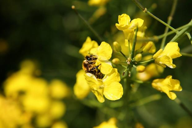 Farmers want emergency authorization to use neonicotinoids on rape crops. Image: Pixabay