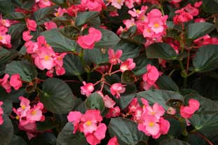 Begonia Benariensis BIG, from Benary offers to savings to growers - photo: HW
