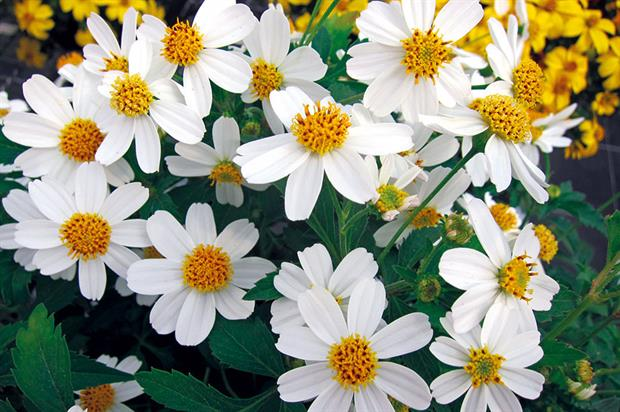 Bidens 'Moonlight': one in a series of three varieties - image: Thompson & Morgan