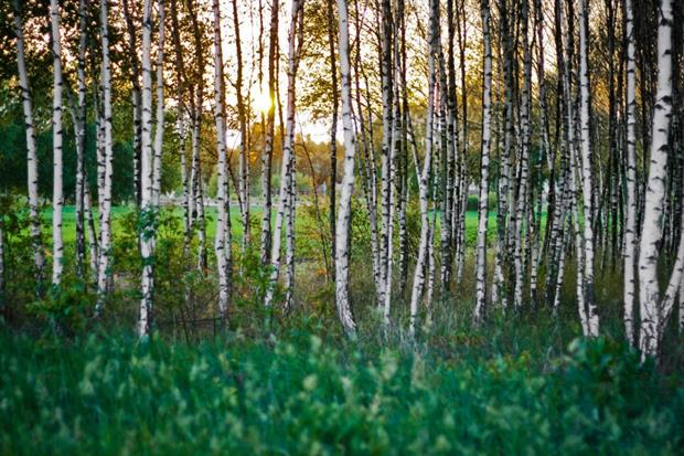 Birches may tick the BREEAM box but make allergy sufferers sick. Image: Pixabay