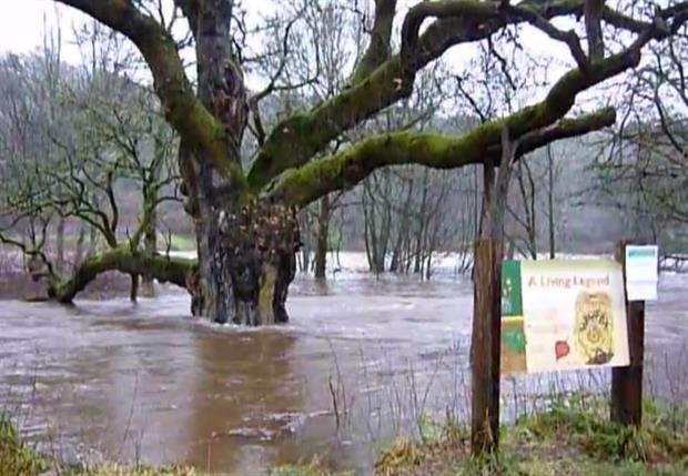 The Birnam Oak during last December's floods - image:PKCT