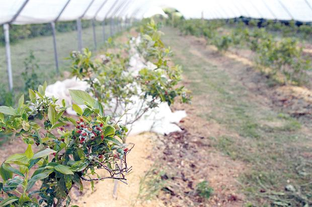 Blueberries: SunMaster Cool polytunnel film is being used by a number of fruit growers including one at a 5ha site in Scotland - image: Scottish Government Rural Communities Directorate