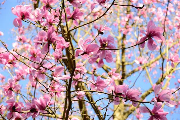 Magnolias in bloom. Image: Borde Hill Gardens