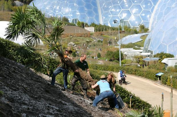 Eden gardeners manoeuvre a Chinese windmill palm into position. Image: Eden Project