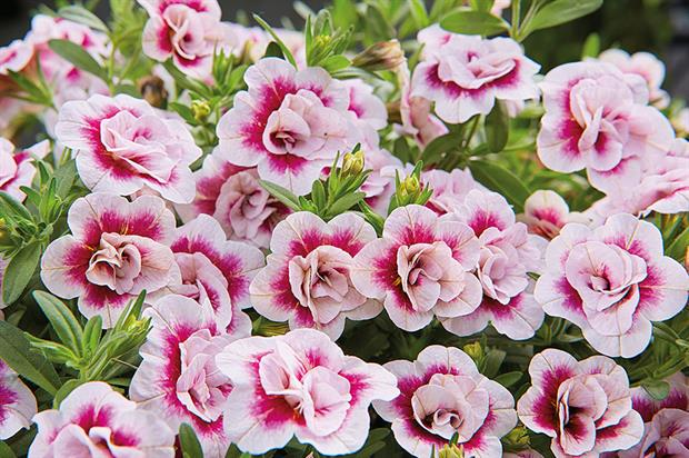 Calibrachoa MiniFamous Double PinkTastic - image: Selecta one