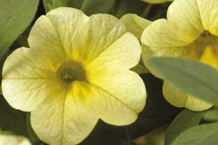 Calibrachoa Privileged 'Light Yellow' - photo: S&G Flowers
