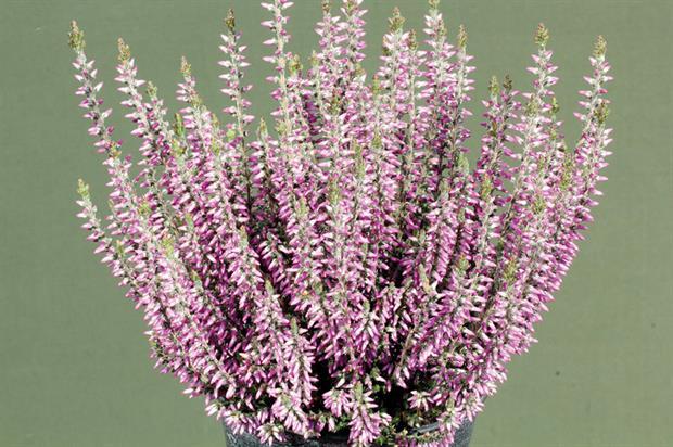 Calluna vulgaris 'Lisann' (Gardengirls) PBR