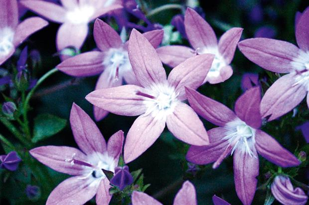 Garden Star: campanula with big stems and masses of azure blue flowers will grow in a range of soils and situations - image: Botanics International
