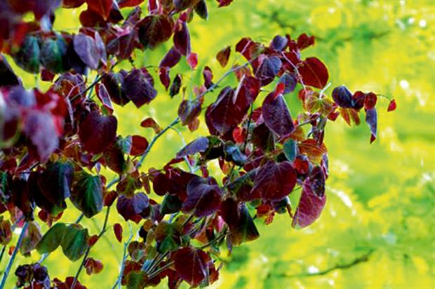 Trees and shrubs: Cercis canadensis 'Forest Pansy' features among best-selling varieties from Majestic Trees - image: Majestic Trees