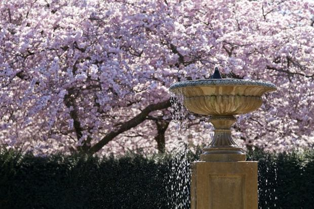 Cherry blossom in The Regent's Park. Image: Greywolf / The Royal Parks