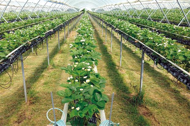 Cocogreen: coir is an increasingly popular choice for growers of tabletop berries