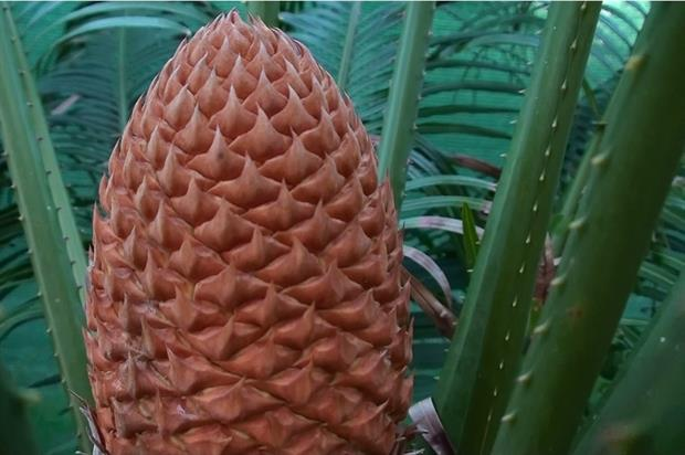Gymnosperms such as cycads were dominant in the Jurassic period. Image: Pixabay
