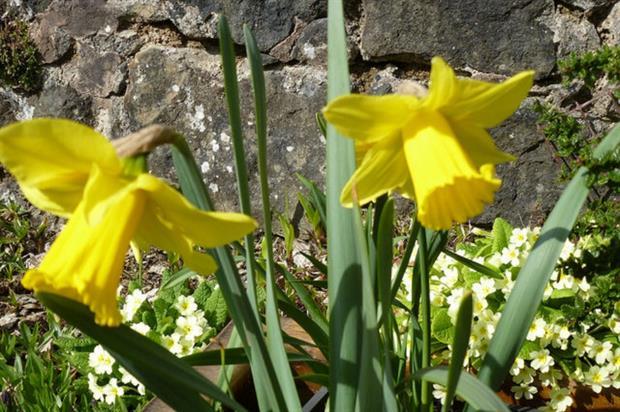 Daffodil 'Bulwark'. Image: Supplied