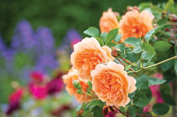 Rosa Dame Judi Dench ('Ausquaker') - image: © Howard Rice