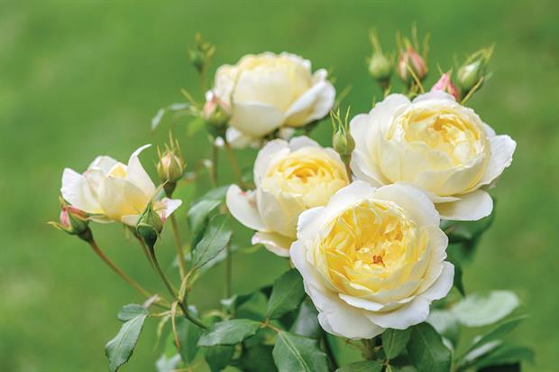 Rosa Vanessa Bell ('Auseasel') - image: © Howard Rice