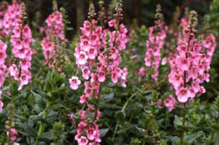 Diascia rigescens - photo: Graham Clarke