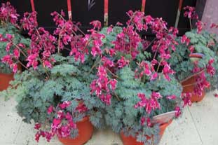 Dicentra 'burning hearts' won best novelty award at this year's Plantarium - photo: HW