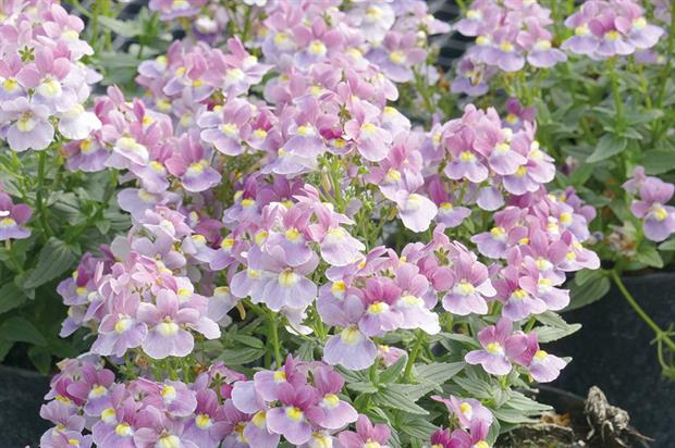 Nemesia 'Lilac Queen' - image: Early Ornamentals