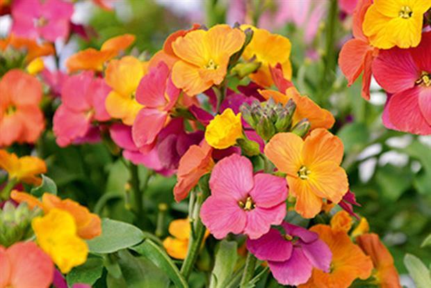 Erysimum 'Winter Party' - image: Kernock Park Plants