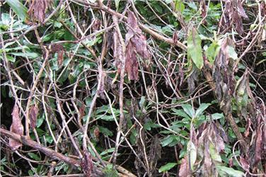 Phythophthora ramorum on rhododendron - image: Forestry Commission
