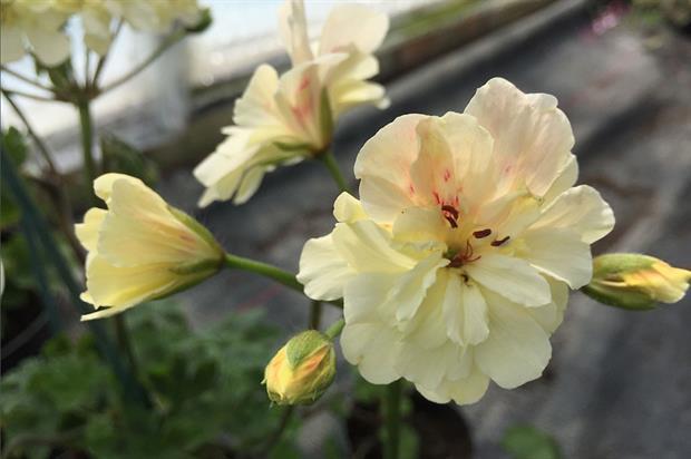 Pelargonium 'Rushmoor Amazon' (Rushmoor River Series) - image: RHS
