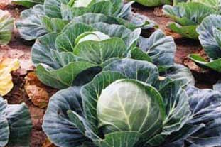 Field of cabbages - photo: HW