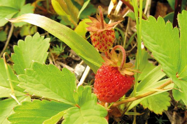 Fragaria iinumae: genetic analysis research carried out - image: Quert1234