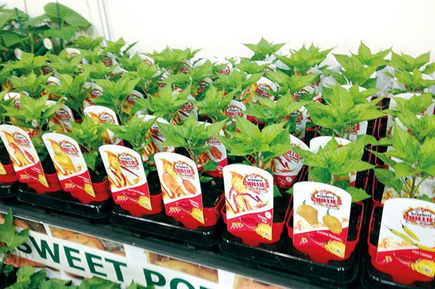 Dynamite Chillies: the new range for 2016 features 15 varieties in 10cm bright-red pots and the tagline 'How hot can you handle?'