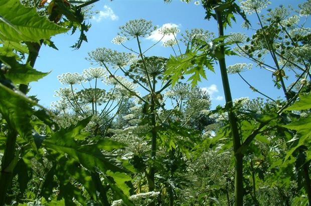 Giant hogweed should be on EU's banned species list, BALI says. Image: Property Care Association