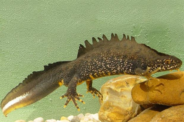 Male great crested newt. Image: Jim Foster/Natural England