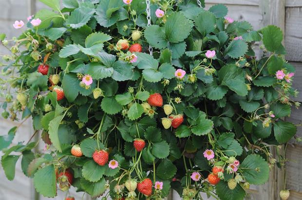 Strawberry Just Add Cream ('Tmstr14pnk') - image: HTA
