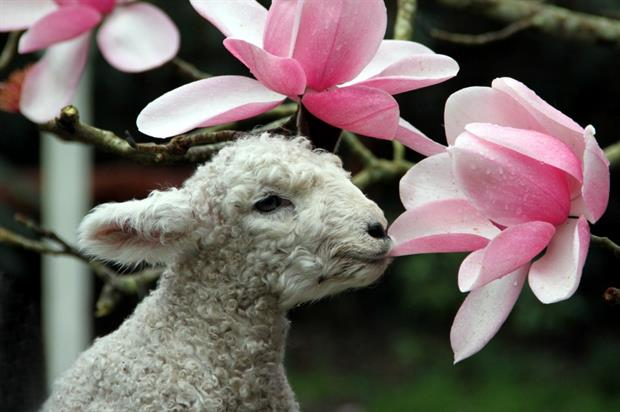 A Heligan lamb checks out one of the garden's magnolias. Image: Supplied