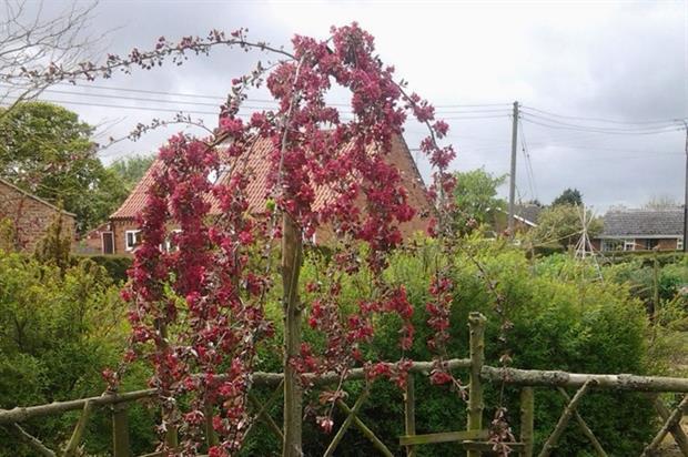 Malus × purpurea 'Crimson Cascade'  - image: RHS