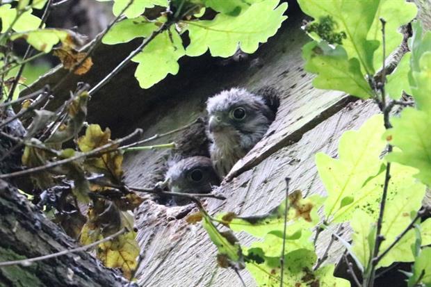 Kestrel chicks emerge from their nesting box. Image: City of London/Adrian Brooker
