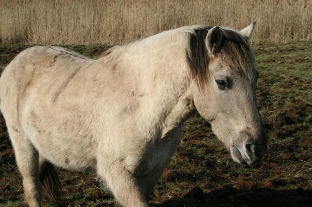 Konic ponies will help manage the land. Image: The Parks Trust