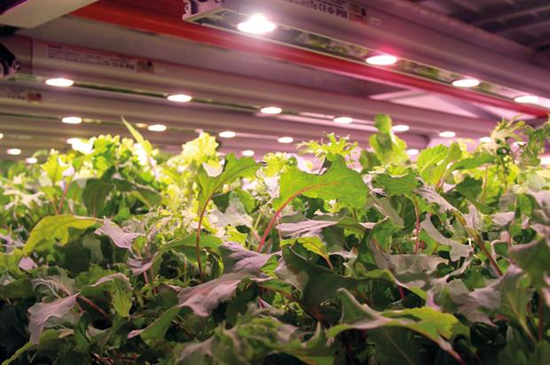Trials show how LED lighting in cucumber crops boosts productivity and sustainability