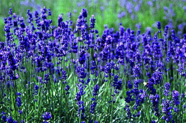 Lavender. Image: RHS